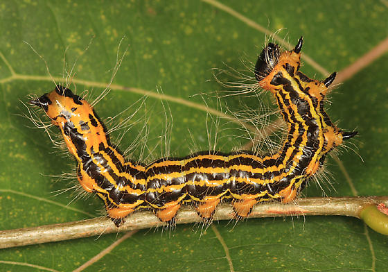 Datana drexelii caterpillar photo by Tom Murray.