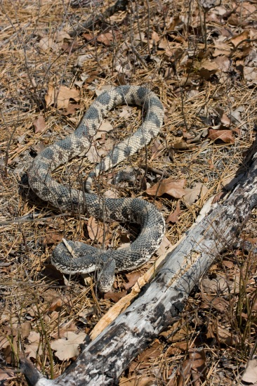 Northern pine snakes are most active aboveground at temperatures in the range of 20-25 degrees Celsius.
