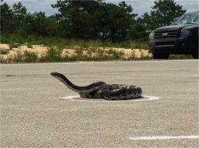 Why can't the snakes cross the road, secret lives of baby snakes and other New Jersey Pineland snakescience