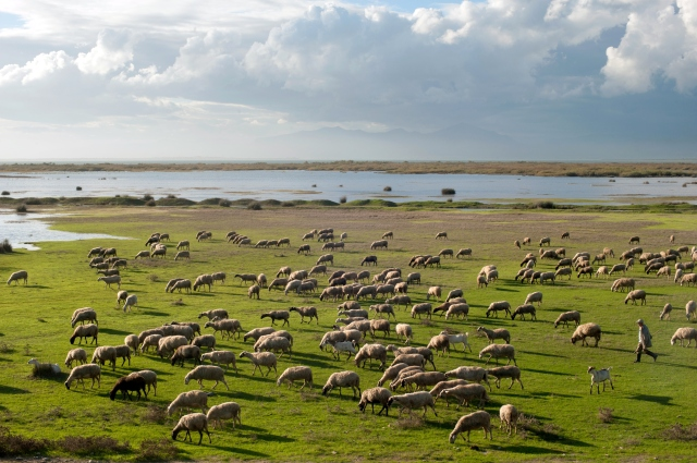 Sheeps - Sheferd Glikoneri, Vistonida Lake, Rhodope Prefecture, Thrace, Greece.