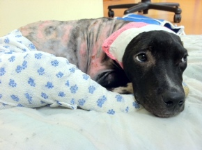 Hercules: A Survivor of Animal Cruelty Inspires Community Partnerships