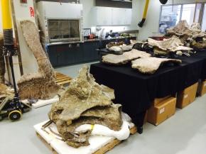 Drexel Snapshot: DreadnoughtusDeparture