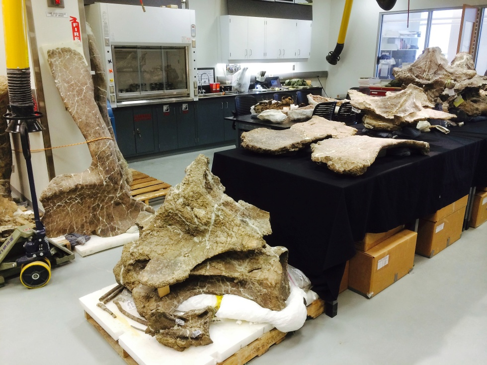 Bones of Dreadnoughtus schrani in Lacovara's fossil lab at Drexel University. Scapula (shoulder blade) (standing against divider); Cervical (neck) vertebra (on pallet), surrounded by preserved neck tendons; Sternal (chest) plates (front of table); Dorsal (mid-back) vertebrae (Rear of table).