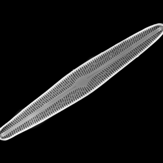Brachysira subtile, one of four diatom species from a lake in eastern Siberia described by Potapova with collaborators P.B. Hamilton and L.I. Kopyrina. The others are Eunotia frigida Potapova, Hamilton & Kopyrina, Encyonopsis vasilievae Potapova, Hamilton & Kopyrina and Neidium rugosum Hamilton, Potapova & Kopyrina.