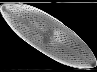 Neidium rugosum, one of four diatom species from a lake in eastern Siberia described by Potapova with collaborators P.B. Hamilton and L.I. Kopyrina.
