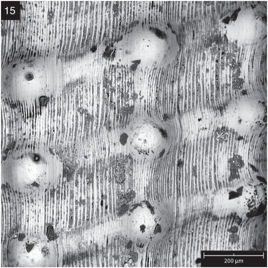 SEM image shows the microstructures of the T. abelai shell.