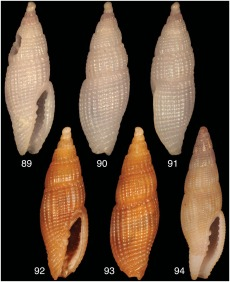 T. pallida shell (upper left) with other Thala species for comparison