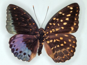 Drexel Snapshot: Butterfly is Half Female, Half Male