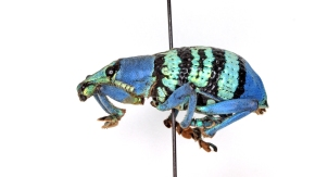 Why is This Weevil #BlueandBlack? And How Do We Know?