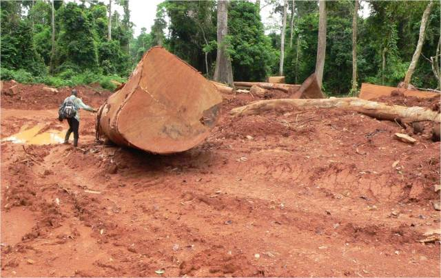 Logging increased more than 600 percent in Ghana during a 15-year period. Photo credit: Nicole Arcilla.