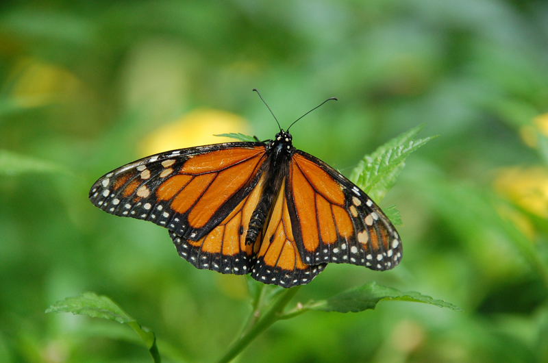 A Monarch butterfly with it's wings spread on a plant