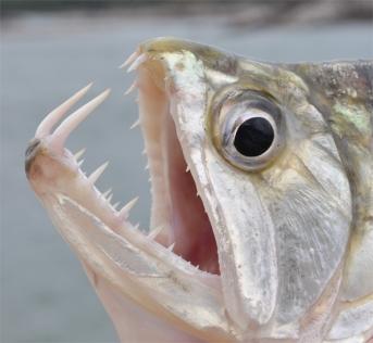 A close-up of the mouth of a payara, or vampire fish