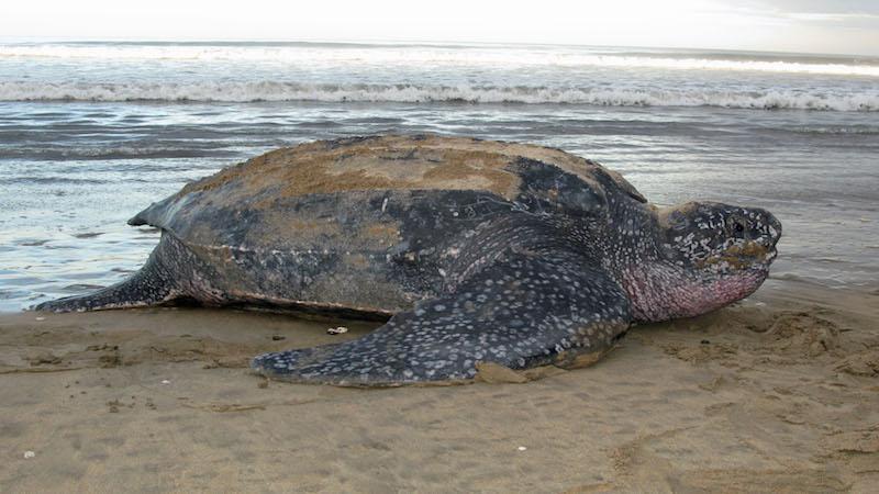 Leatherback turtle, photo credit: George Shillinger.
